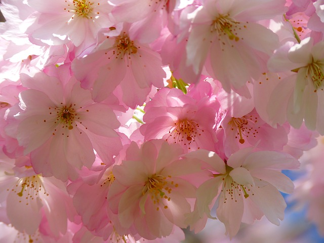 japanese-cherry-trees-6344_640