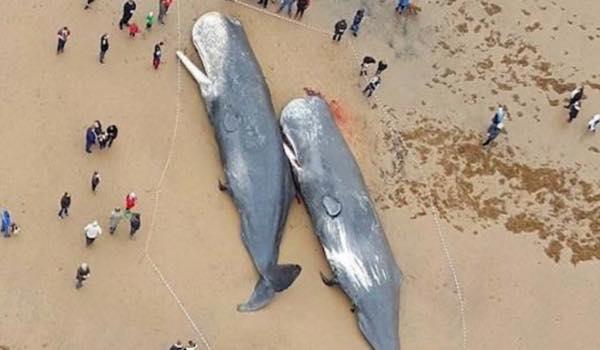 海に打ち上げられたクジラの死骸から出てきたものに、全世界が衝撃!!!