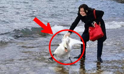【大炎上】自撮り写真を撮るため湖から白鳥を引きずり出した!結果、恐ろしいことに…