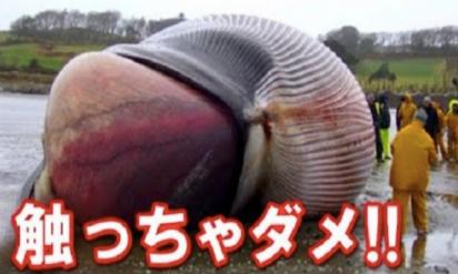 【危険】世界的な問題に!座礁したクジラを見かけたら絶対近寄らず逃げて!なぜなら‥